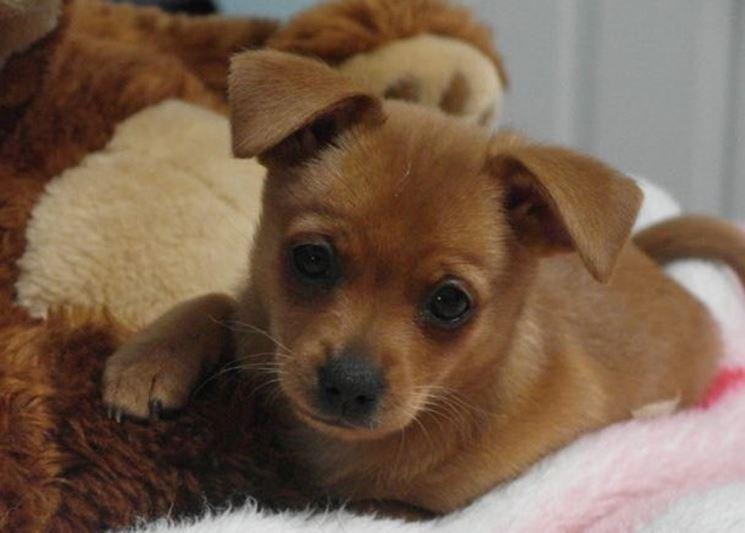 Pinscher chihuahua cucciolo