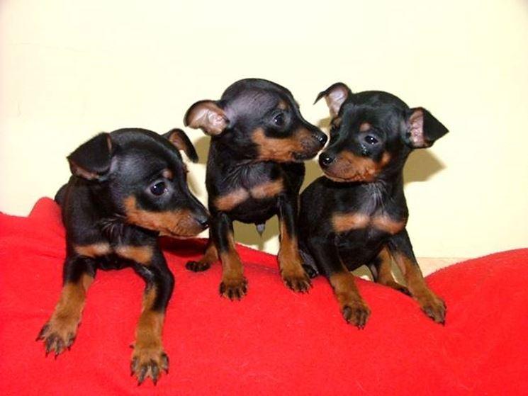 Cuccioli di pinscher nano