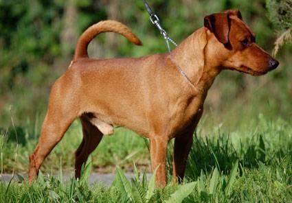 Pinscher nano adulto cani taglia mini for Pinscher medio