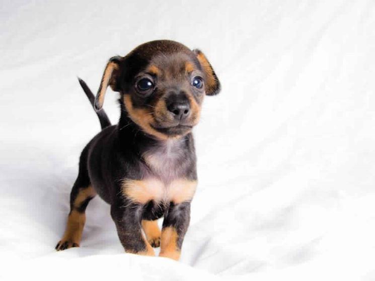 Pinscher nano carattere - Cani Taglia Mini - pincher nano