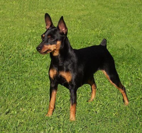 pinscher nano prezzo cani taglia mini costo di un