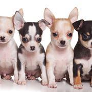 Esemplari razza Chihuahua