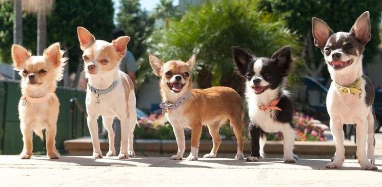Cani razza Chihuahua