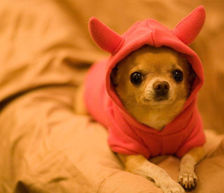 Cane razza Chihuahua