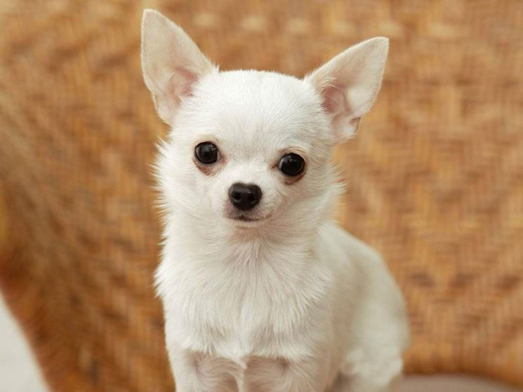 Esemplare cane Chihuahua