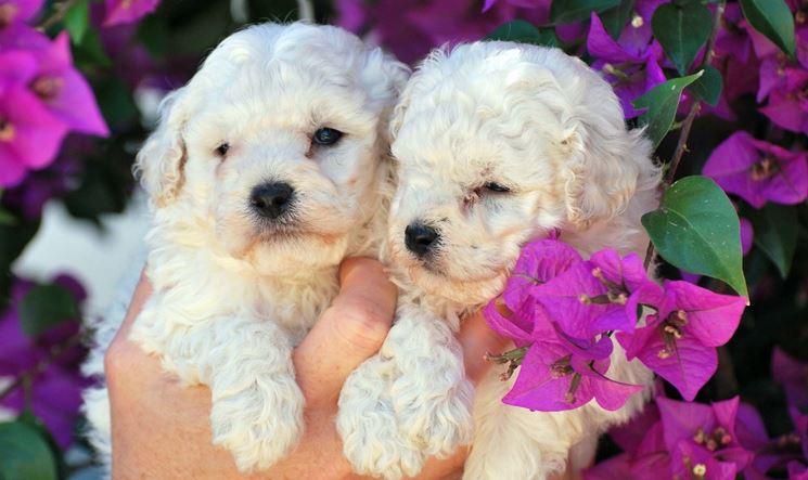 Barboncini cuccioli