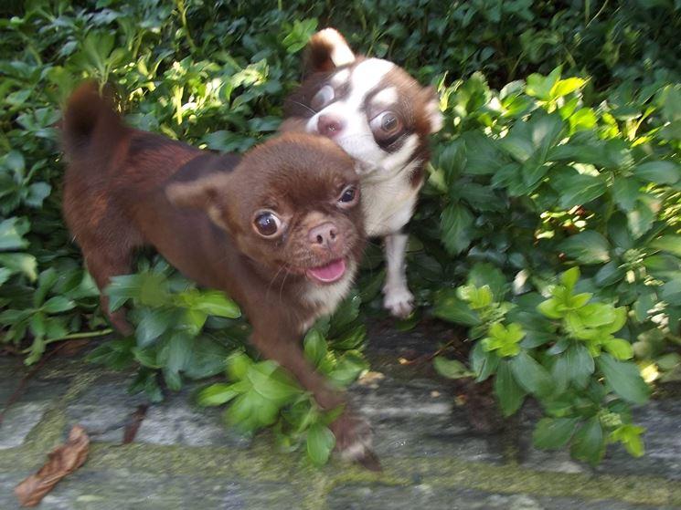 Cuccioli di chihuahua color cioccolato