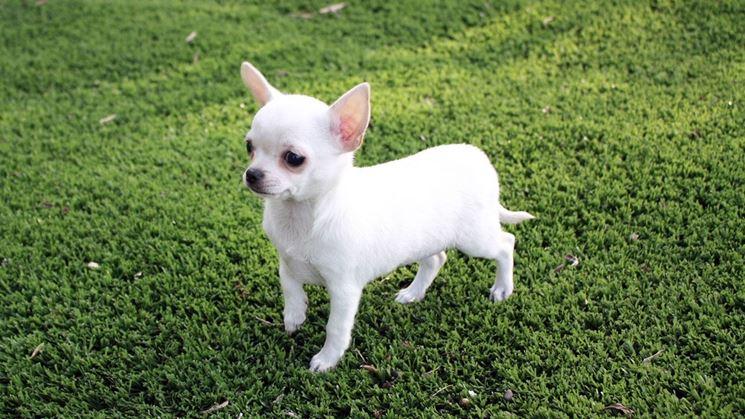 Chihuahua di colore bianco