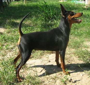 Zwergpinscher Black and Tan