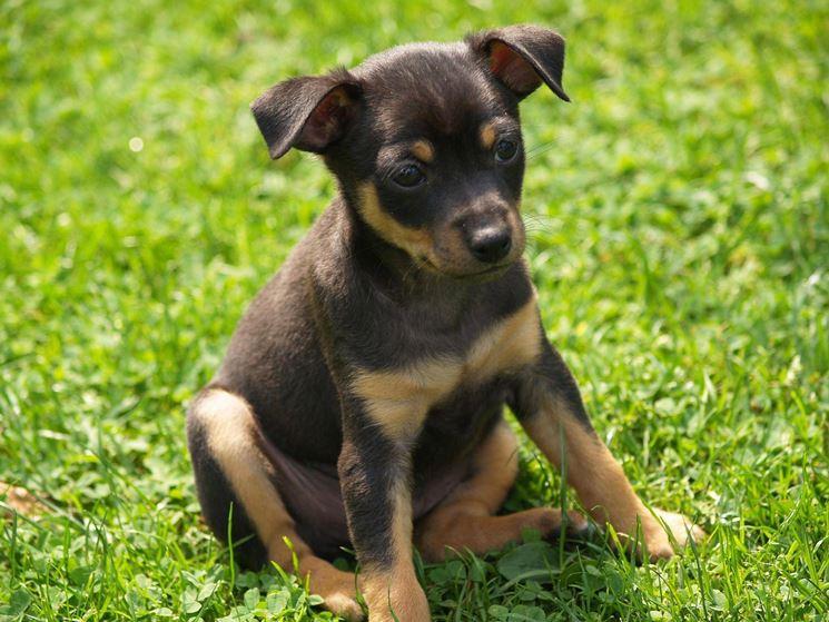 Cucciolo di Pinscher nano