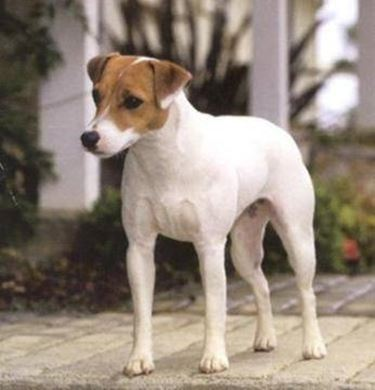 <p />Jack russell