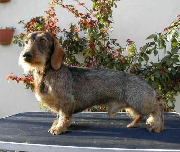 Bassotti nani cani taglia piccola caratteristiche for Bassotto prezzo