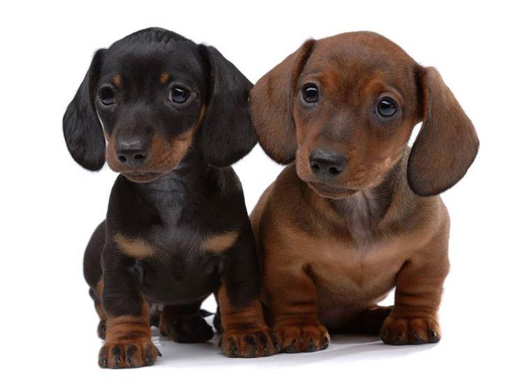 Cuccioli di bassotto tedesco