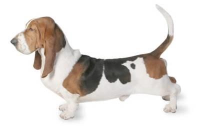 Bassotto cani taglia piccola caratteristiche del bassotto for Bassotto cane