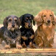 Cani bassotto