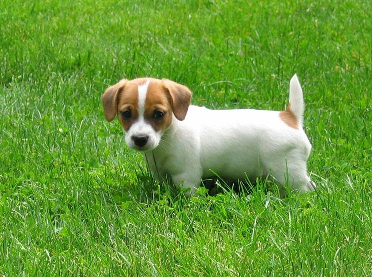 Cucciolo di Jack Russell