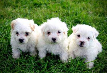 cuccioli Bichon maltesi