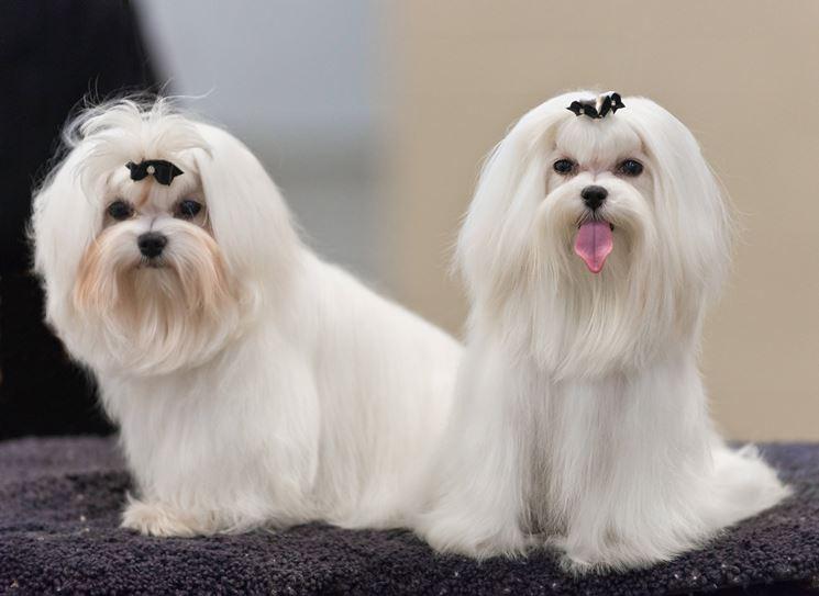 Cani maltesi ad una gara