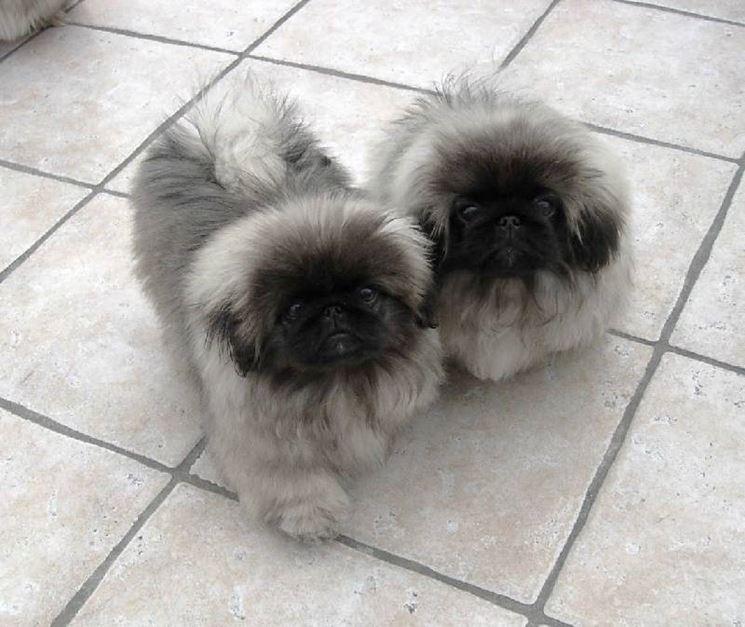 cuccioli di cane pechinese