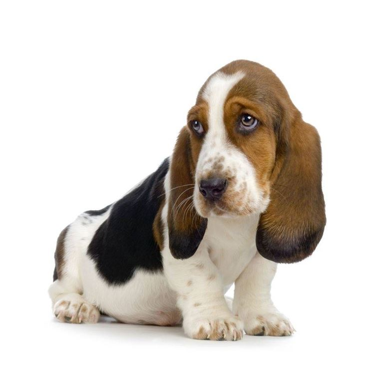 Cuccioli di bassethound