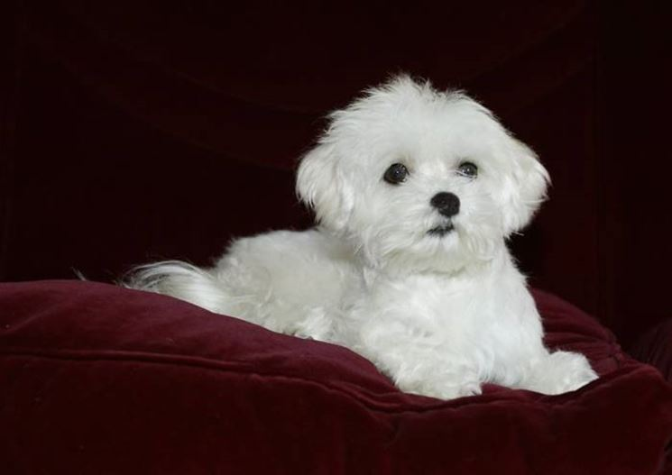 Cane razza maltese