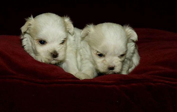 Cuccioli di razza maltese