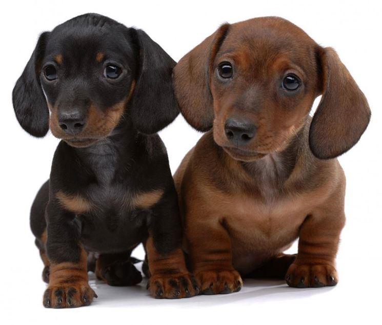 Cuccioli di Dachshund