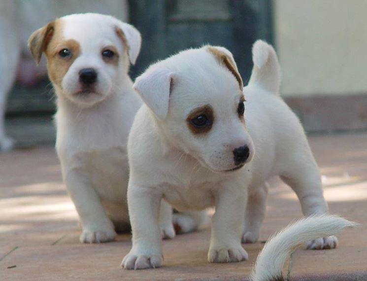 Bellissimi cuccioli di Jack Russel