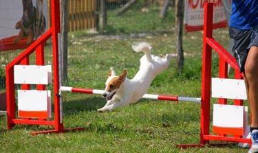 Prova di agility per il jack russel