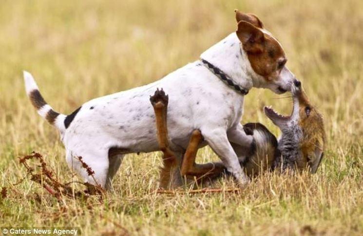 jack russel vs volpe