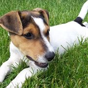 jack russell terrier carattere