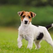 carattere jack russel