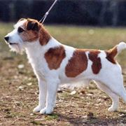 jack russel carattere