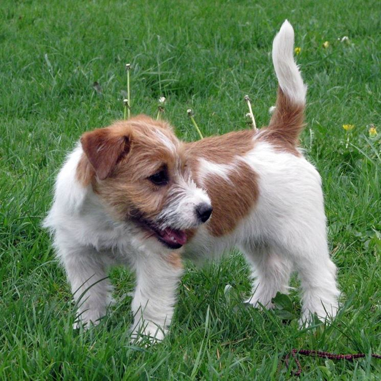 Jack Russell Terrier pelo lungo
