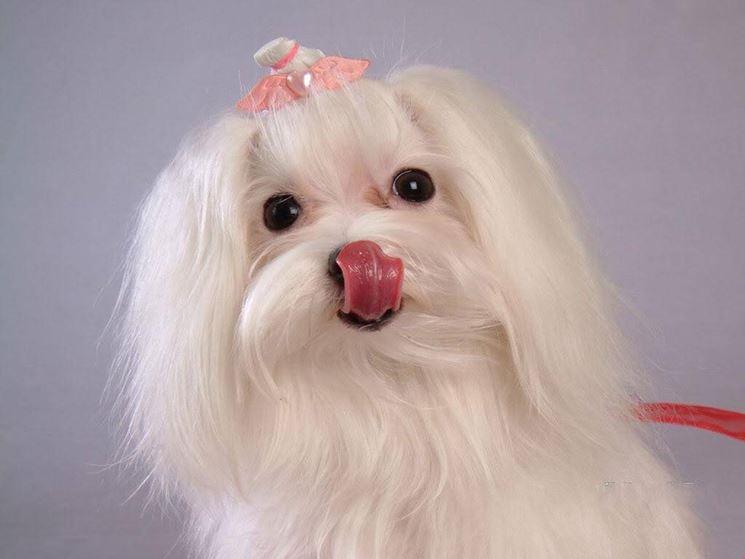 Razze cani con pelo corto