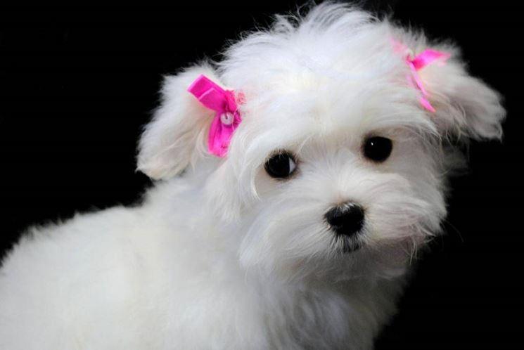 maltese pelo corto - cani taglia piccola - razza maltese col pelo