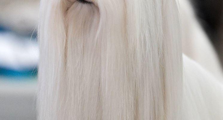 Maltese pelo lungo