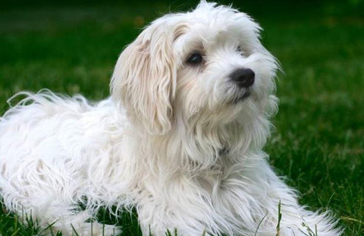 Maltese Toy Cani Taglia Piccola Caratteristiche Del Maltese Nano