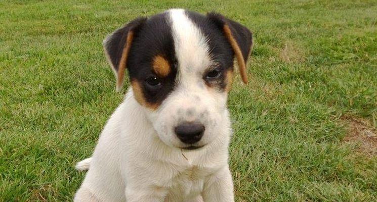 Parson Russell Terrier cucciolo