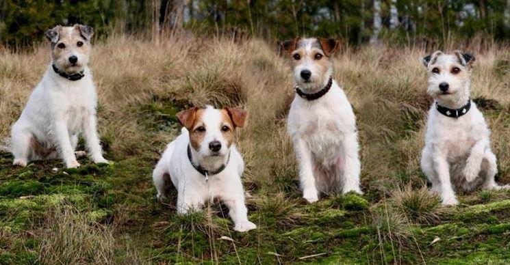Gruppo di Parson Russell Terrier