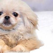 cane pechinese prezzo