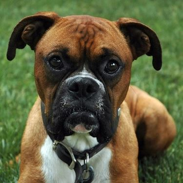 boxer canile