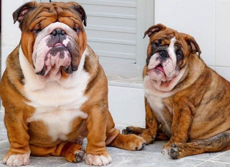 miniature english bulldog vs english bulldog bulldog inglese in canile canile compre prendere un 8811