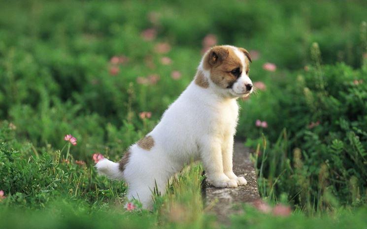 cucciolo Quando si adotta un cane di razza, come per qualsiasi altro cane,  è fondamentale seguire alcuni passaggi. Prima di tutto, è necessaria una  visita