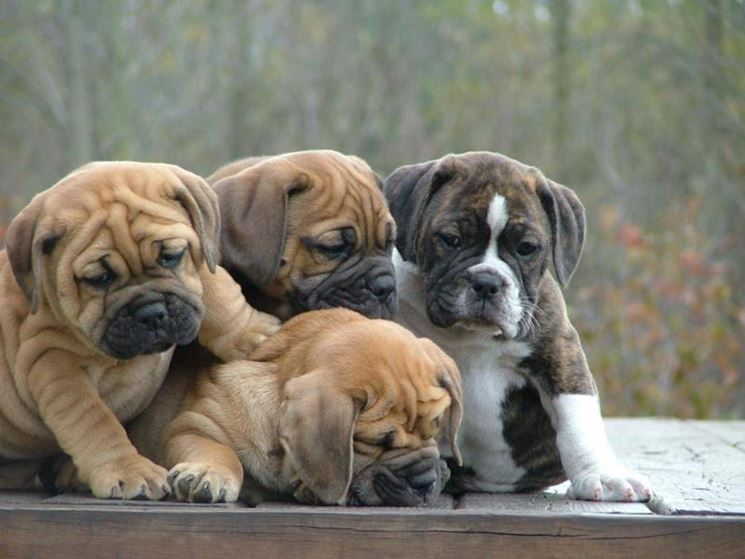 bulldog cuccioli
