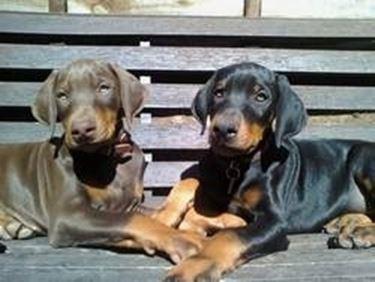 cuccioli cani dobermann