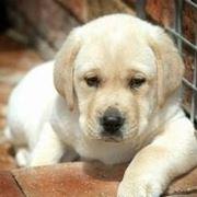 cane labrador cucciolo