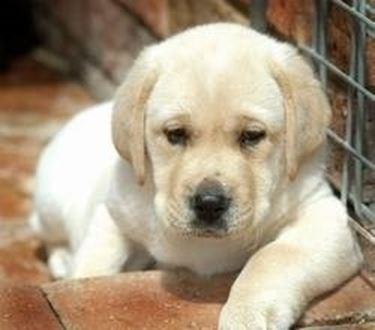 Labrador pelo corto cucciolo