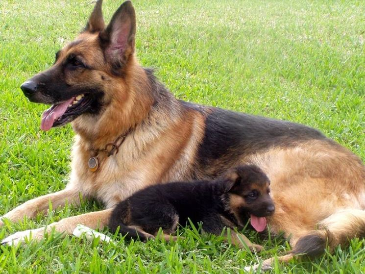 Cuccioli Di Pastore Tedesco Cuccioli Cani Caratteristiche Dei