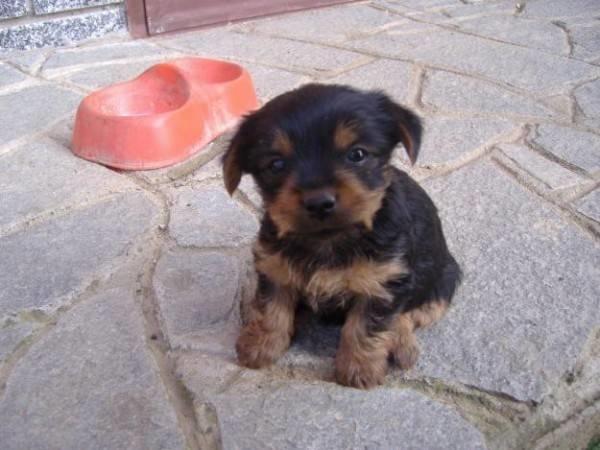 Cuccioli Appena Nati In Regalo.Cuccioli Yorkshire Cuccioli Cani Caratteristiche Dei